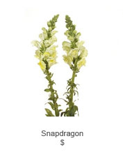 Snapdragon