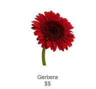 Gerbera