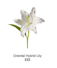 Oriental Hybrid Lily